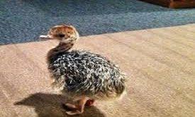 جوجه شتر مرغ چهار ماهه