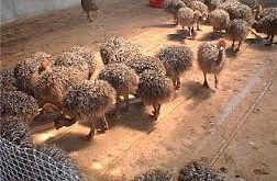 صادرات انواع شترمرغ در تهران