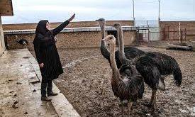 شترمرغ در ایران