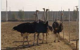 شترمرغ خوزستان