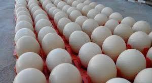 خرید تخم شترمرغ