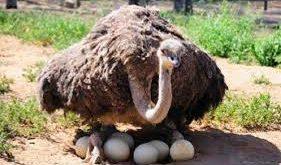 پخش تخم شترمرغ