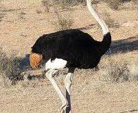 خرید شترمرغ زنده