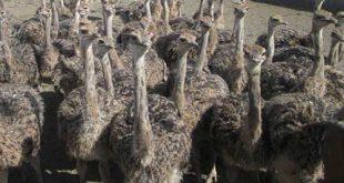 قیمت شترمرغ مولد