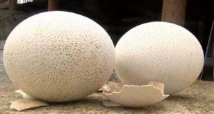 تخم شترمرغ بهترین قیمت