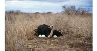 شترمرغ زنده بالغ قیمت روز
