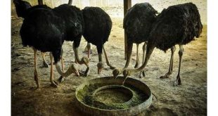 شترمرغ پروار زابل قیمت